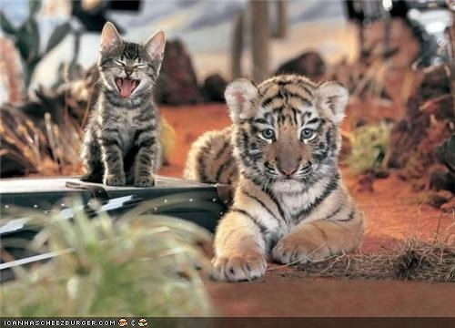 big cats cyoot kitteh of teh day friends Interspecies Love tigers - 5278549504