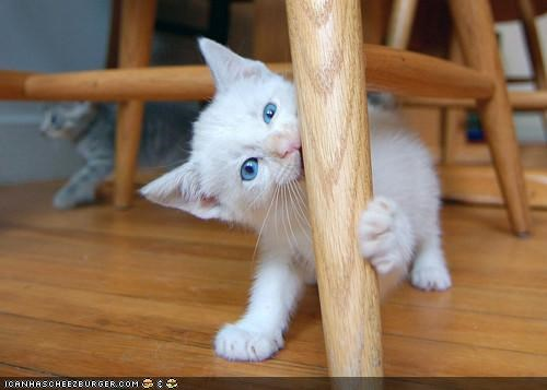 biting chair legs chairs chewing cyoot kitteh of teh day toothpick white - 5278635776