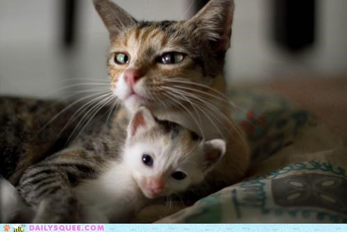 baby,cat,Cats,cuddling,guarding,Hall of Fame,holding,kitten,maternal instinct,mine,mother,protective
