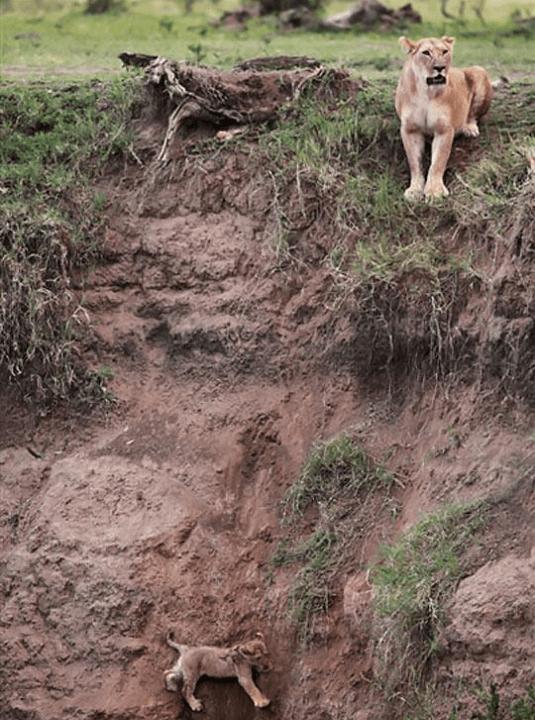 cub photos mama lion rescue - 5278981