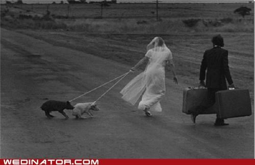 funny wedding photos,pig