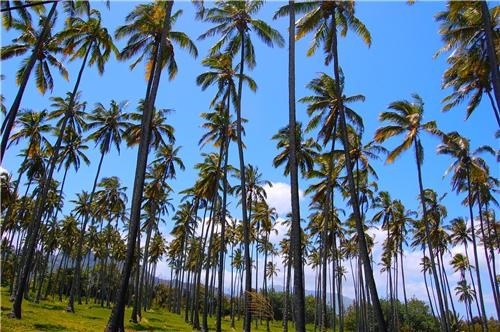 blue,Forest,getaways,green,Hall of Fame,Hawaii,kauai forest,Palm Tree,palm trees,polynesian island,polynesian islands,trees,Tropical,united states