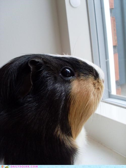 fairy tale guinea pig long haired longing rapunzel waiting