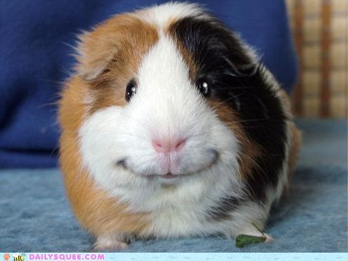 acting like animals cheese guinea pig Hall of Fame instruction lolwut overthinking say smile smiling unflattering - 5286911744