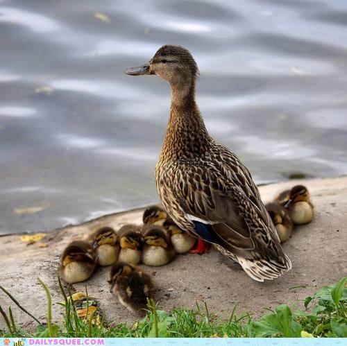 Babies baby duck ducklings ducks lining up literalism metaphor mother row - 5287008768