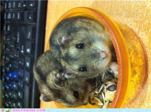 brothers,distinct,dwarf hamster,hamster,hamsters,personalities,personality,reader squees