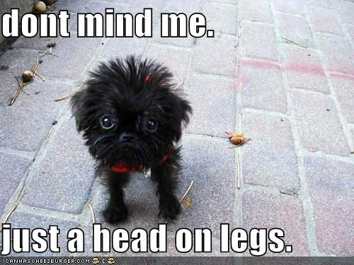 affenpinscher best of the week Fluffy Hall of Fame head head on legs puppy - 5291716096