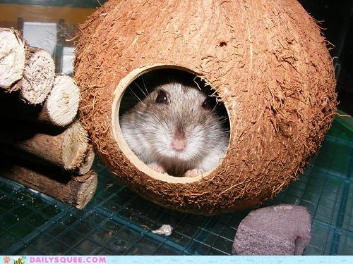 coconut Hall of Fame hamster hiding house peeking reader squees safe shell