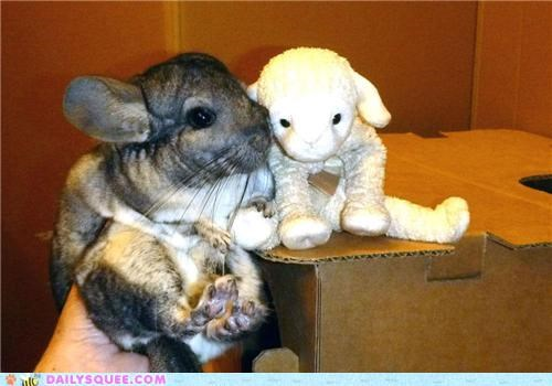 befriending,chinchilla,friend,friendship,new,quiet,reader squees,stuffed animal,toy