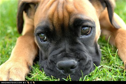 adorbz boxer cute cute face goggie ob teh week puppy sweet face - 5295811072