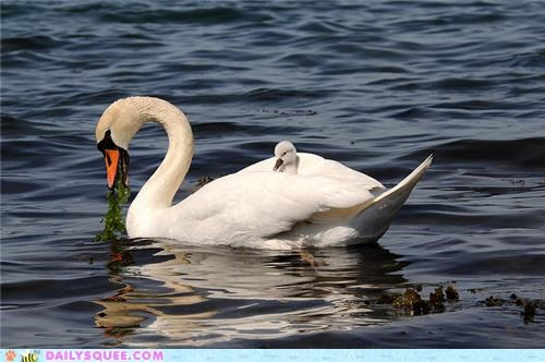 baby,cygnet,hitching,mother,ride,riding,squee spree,swan,swans,winner