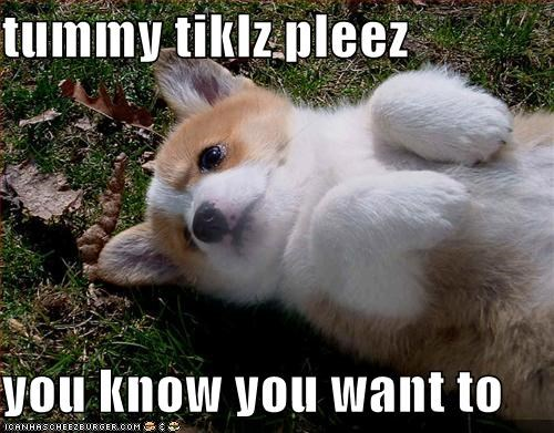 belly rubs,corgi,i asked nicely,please,puppy,tummy,tummy rubs