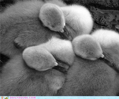 Babies baby cygnet cygnets pose prefix pun signature sleeping squee spree swan swans