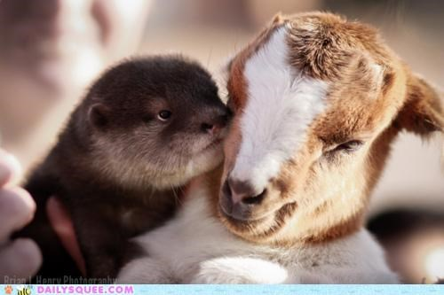classic cuddling friends friendship goat Hall of Fame Interspecies Love love otter reminder