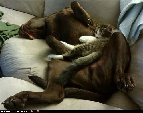 asleep bedtime cat chocolate lab friend friends friendship kitteh kittehs r owr friends labrador retriever sleep - 5299600640