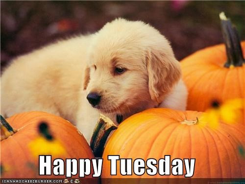 golden retriever,happy tuesday,pumpkins,puppy