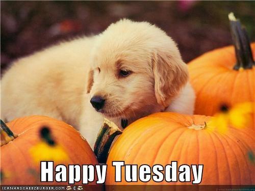 golden retriever happy tuesday pumpkins puppy - 5299638016