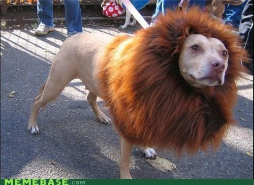 animals,best of week,lion,pitbull,wtf