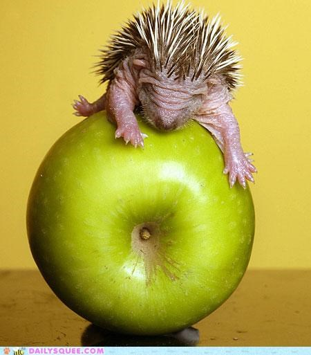 apple baby definition determination do want Hall of Fame hedgehog neologism nomming noms portmanteau squee word - 5301235456