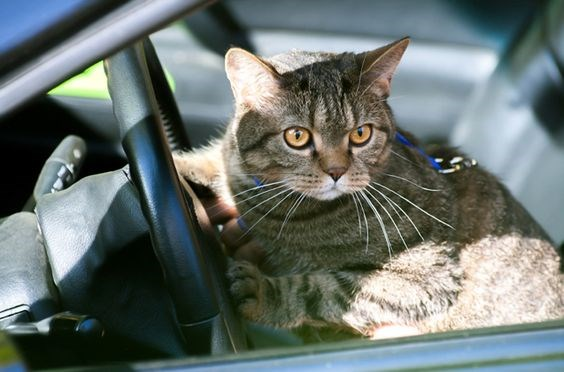 a list of cats and kittens that are looking forward to their car rides