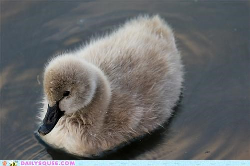 baby cygnet down droplets drops feathers parody rewrite song splashing squee spree swan water