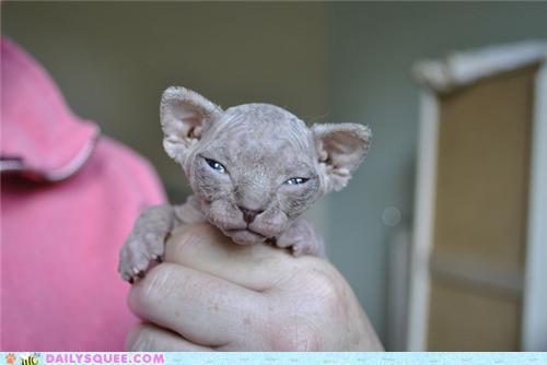 baby cat creepicute hairless kitten nekkid poll sphynx tiny - 5305189120