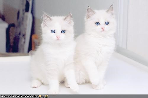 blue eyes,creepy,cyoot kitteh of teh day,Fluffy,twins,two cats,white