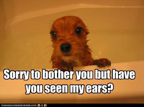 Sorry to bother you but have you seen my ears?