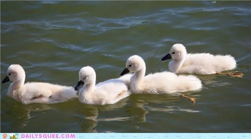 Babies baby cygnet cygnets lake line lines squee spree swan swans theme park wait waiting worth it