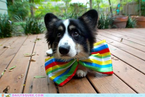 adorable attire bow tie corgi date disproportionate dogs dressed up puppy silly - 5309099520