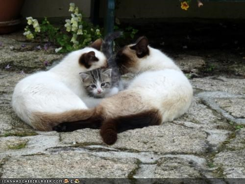 adopted cyoot kitteh of teh day family parents siameses three cats - 5309351936