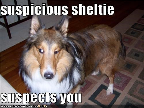 detective hmm raised eyebrow sheltie shetland sheepdog suspects suspicious trust