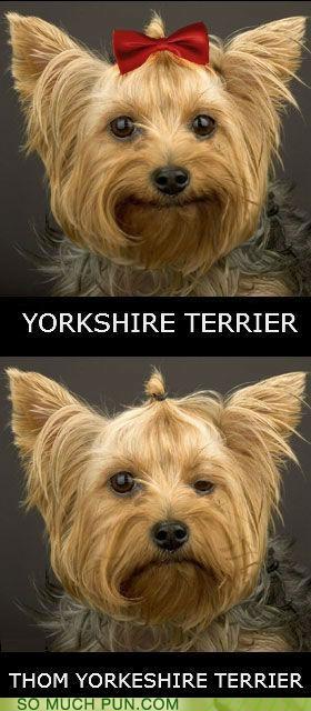 dogs lolwut mispronunciation radiohead surname Thom Yorke TLL yorkie yorkshire terrier - 5311828736