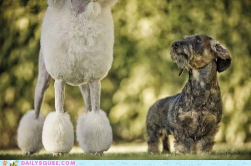 acting like animals disaster dogs embarrassed embarrassing hair haircut observation observing poodle regrettable schnauzer - 5312592896
