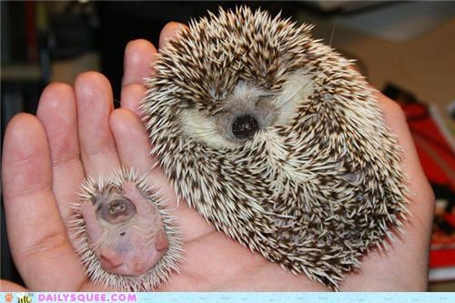 adult,baby,difference,Hall of Fame,hedgehog,hedgehogs,King Size,mini,side by side,size,unbearably squee