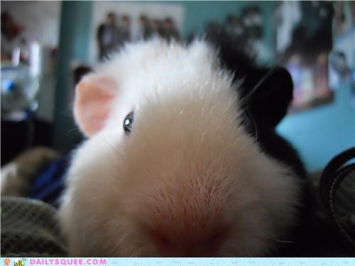close closeup gpoy guinea pig posing reader squees up - 5316696320