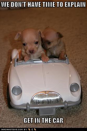 car,chihuahua,drive,driving,get in the car,no time to explain,puppy