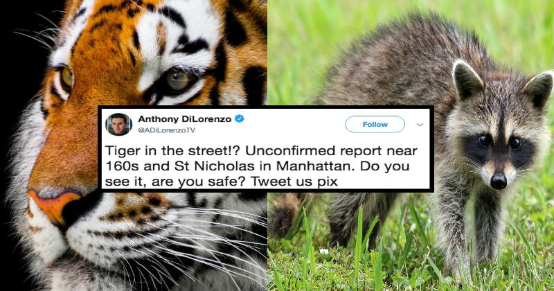 news facepalm tiger raccoons funny twitter - 5321477
