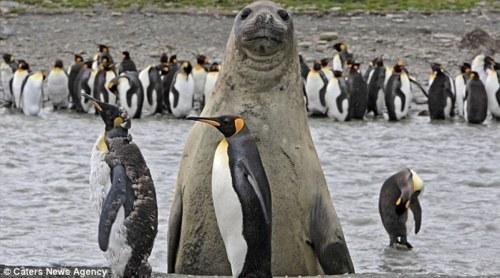 King Penguin,photobomb,Photobombing Animal,Saint Andrews Bay