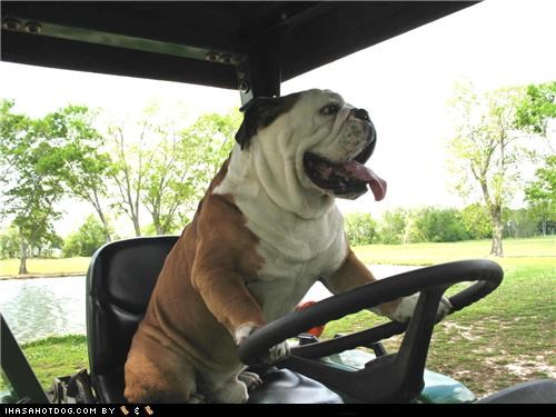 awesome bulldog drive driving goggie ob teh week happy happy dog in charge smiling - 5323259392