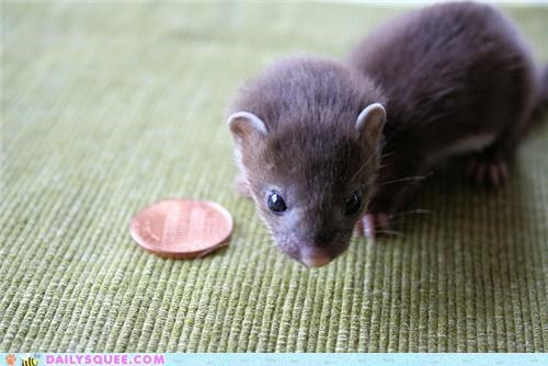 baby,comparison,contest,Hall of Fame,penny,scale,squee spree,tiny,weasel,winner