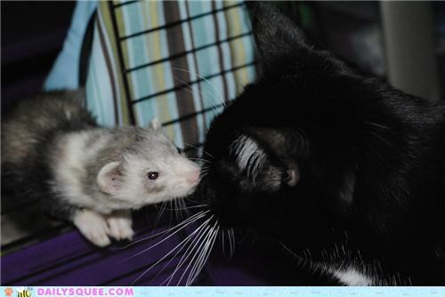 baby,cat,encounter,family,feline,friends,Interspecies Love,meeting,sniffing,squee spree,weasel