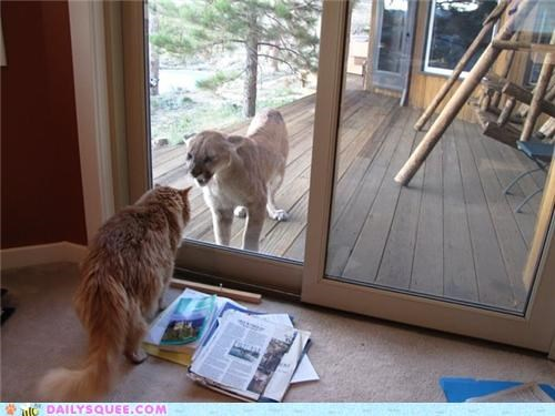acting like animals cat cousins forcefield Hall of Fame mountain lion safety Staring taunting thank goodness - 5325105152