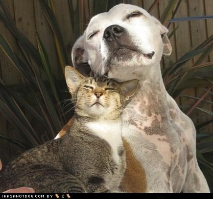 adorbz,awww,best friends,cat,friends,friendship,i love you,kittehs r owr friends,love,pit bull,pitbull