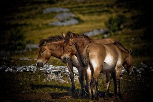 animals asia endangered species getaways horses prehistoric prehistory przewalskis-horses - 5332825600