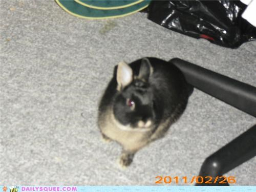 bunny confused pun rabbit reader squees - 5333773056