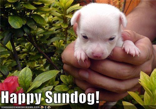 adorbz chihuahua happy sundog puppy Sundog - 5336249856
