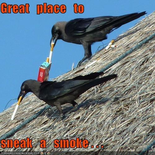 cigarettes crows smoking - 5336276992