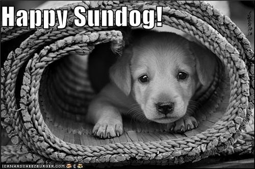 burrito golden retriever happy sundog puppy Sundog wrapped up - 5336294144
