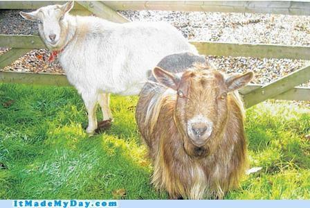 animal,goats,good news,happy,news,safe,story,win